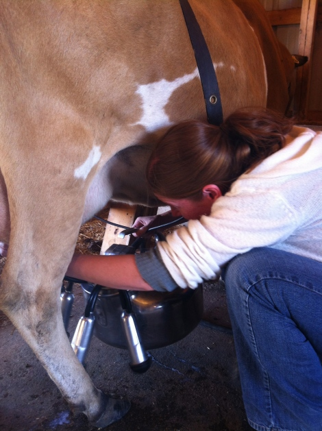This is me attaching the portable milking machine to Mickey.