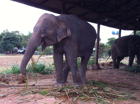 The elephants love their sugarcane!
