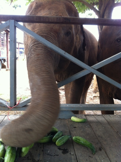 We bought some cucumbers back in town - the elephants were more than ready to chow down.