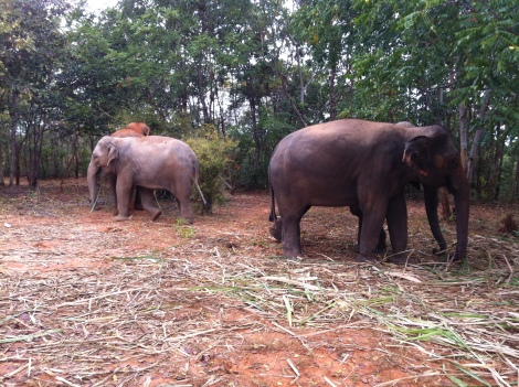 We went for daily walks with the elephants. Meandering through the forest, snacking along the way.
