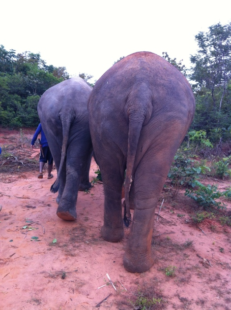 I got pretty used to this view. I could even identify some of the elephants by their bums. Hello Fa Sai!