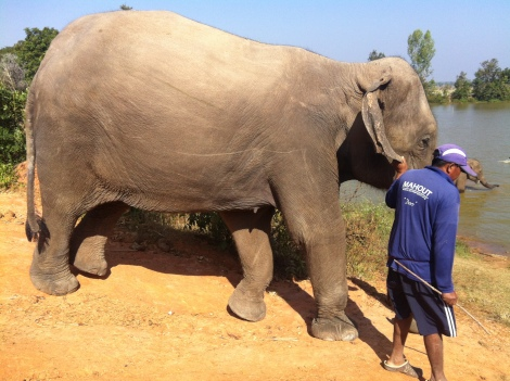 Sai Fa and her mahout Doe.
